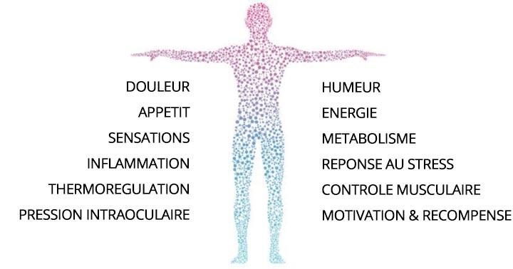 CBD et système endocannabinoïde