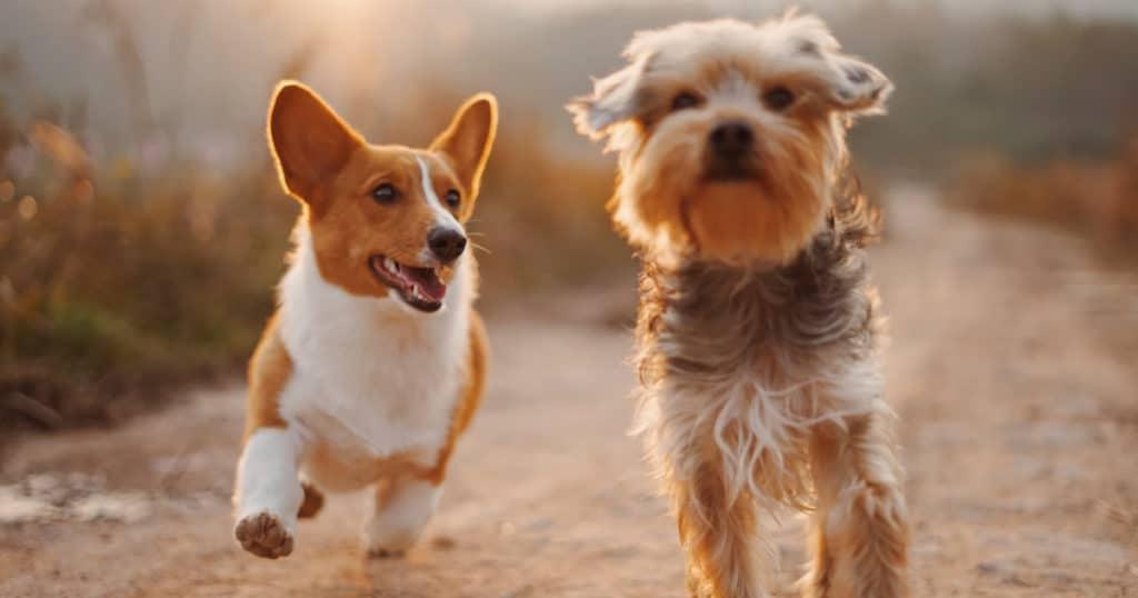 CBD pour chiens avec dermatite